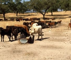 GANADERIA ALGARRA – Finca La Capitana – Visitas Ganadería Toros Bravos – Dehesa de Cerdos Ibéricos – Eventos empresariales en Fincas